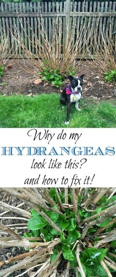 My Hydrangeas Blooming - and How to Fix It! Do your hydrangeas look like dead brown sticks? Tips to make them thrive Do your hydrangeas look like dead brown sticks? Tips to make them thrive Hortensia Hydrangea, Hydrangea Care, Growing Hydrangea, Hydrangea Winter Care, Hydrangea Plant, Limelight Hydrangea, Hydrangea Bush, Hydrangea Not Blooming, Garden Care