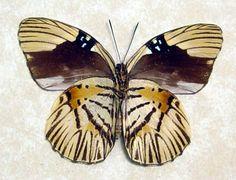 Hewitsonia boisduvali, verso, Africa (rare)