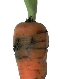 Carrot Fly Larvae Tunnel Into Carrot Roots Growing Carrots, Diy Network, Garden Pests, Bugs, Roots, Beetles, Insects