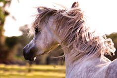 OCEANIA O (Pershahn El Jamaal x Om El Jimala) 2005 grey mare - bred by Om El Arab International, California (uncertain if this is correct)