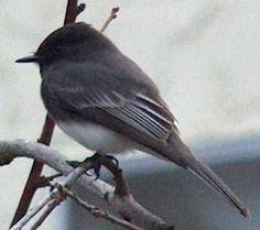 black phoebe - grandma's little bird...