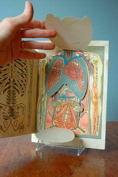 Anatomical torso diagram
