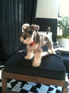 Ranked as one of the most popular dog breeds in the world, the Miniature Schnauzer is a cute little square faced furry coat. Schnauzer Mix, Schnauzers, Schnauzer Grooming, Miniature Schnauzer Puppies, Cute Puppies, Cute Dogs, Dogs And Puppies, Doggies, Puppies