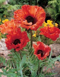 У весны нет ярче знака,  Чем цветок простого мака.    В. Косовицкий      Лидер среди садовых маков - многолетний мак восточный, один из прародителей самой обширной группы сортов (все их называют со…
