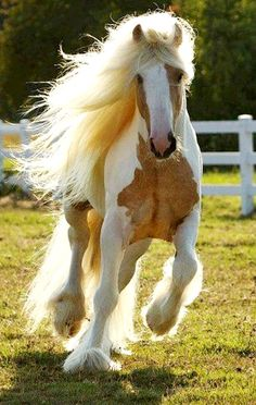 Gypsy Vanner horse with long mane and tail and feathers