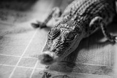 Baby Croc, Crocodile Farm, Desaru, Malaysia
