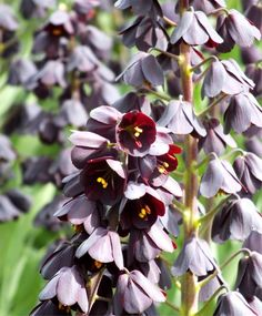 Fritillaria persica - Fritillaria - Flower Bulbs Index