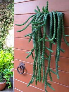 cone shaped planter is planted with Huernia schneideriana. This is the one! This is what I could plant on the fence I stare at from the kitchen while I work!