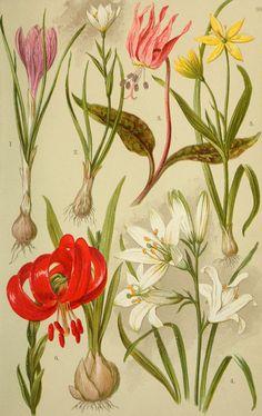 Flora alpina per i turisti e gli amanti di piante (1902) - 1. Crocus vernus. 2. serotina Lloydia. 3. Erythroniuni tane canis. 4. Paradisia Liliastrum. 5. Gagea läottardi. . 6, LUium Carnioliciim
