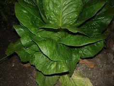 How to Help Lettuce Grow Longer in the Garden