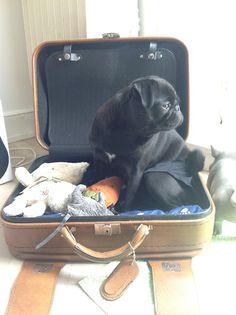 travel pug