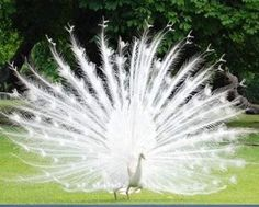 wow look at that spead! - albino peacock