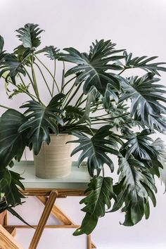 Philodendron Xanadu (via SITSITSO) via lilibaba.tumblr.com