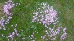 Flora carpatină
