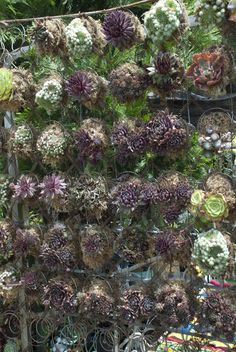 Succulent screen - planted in upcycled mattress springs - line each coil with moss, fill it with soil and pop in the plant.
