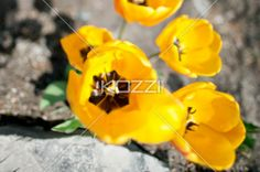 Yellow Tulips from Above - Yellow tulips against rocks in a garden