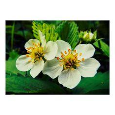 #professional - #White Strawberry Flowers Close-Up Poster