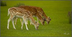 The Three Deergraze...
