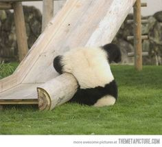 <3 why is it that like every time I see an adorable panda, it's falling over or off of something? lol