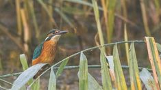 'Angel-like' kingfisher shot at reserve is 'one in a million' - BBC News