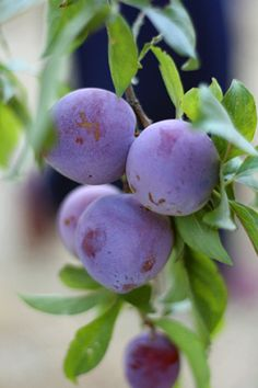 plums | by David Lebovitz