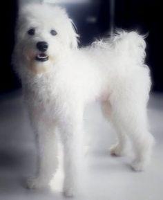 El movimiento de la cola en el perro y su significado