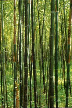 Box of three Phyllostachys Nuda Nude Sheath live . Box of three Phyllostachys Nuda Nude Sheath live Bamboo Bamboo Plant Care, Bamboo Hedge, Bamboo Garden, Plants Near Me, Big Plants, Cool Plants, Indoor Plants, Bamboo Plants For Sale, Cheap Plants