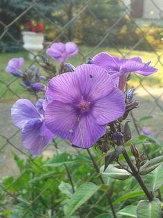 Phlox_violettblau_Juli