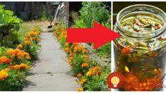 Mali sme ho len na okrasný kvietok, o tomto účinku sme netušili: Stačí zaliať olejom a máte doma zázrak na boľavé kolená! Garden, Garten, Lawn And Garden, Outdoor, Tuin, Gardens, Yard