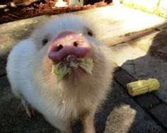 Pig stash