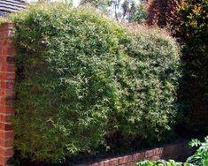 Leptospermum petersonii - lemon scented tea tree. Can hedge it to 5m.