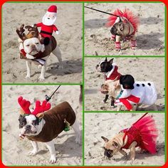 Don't forget we will be having a holiday costume contest at the 3rd Annual Reindeer Romp Christmas French Bulldog Rescue Network @frenchbulldogrescue Fundraiser Event on December 6. Start working on your best festive holiday attire! Three winners will receive a BarkBox gift card donated by my friends at BarkBox @barkbox!!!  by amymonkey72