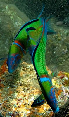 Ornate wrasse (Thalassoma pavo), Canary Islands, Spain