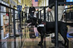 Don't mind the wet nose: TSA enlists more dogs to screen passengers