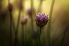 Chives by Noah Rosen on 500px