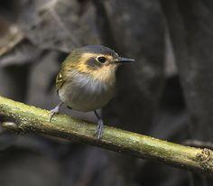 Foto tororó (Poecilotriccus plumbeiceps) por Paulo Guerra | Wiki Aves - A Enciclopédia das Aves do Brasil