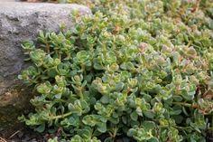 Sedum obtusatum boreale (Form 1) ~ Joy Creek Nursery - 4/1/13