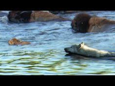 Buffalo Protects Calf From a Wolf Wolf Call, Planet Earth Ii, Bad Video, Natural Wonders, Natural History, Thought Provoking, Polar Bear, Bbc, Buffalo