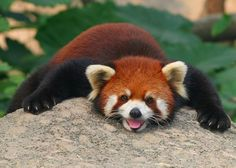 Red panda (Oh, I need one)