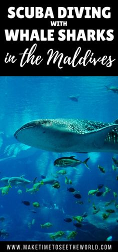 Scuba diving with Whale Sharks is an incredible experience - read all about how you can make this dream a reality with Sun island Resort in the Maldives! ******************************************************************************** Whale Shark | Whale Shark Maldives | Scuba Dive With Whale Sharks | Snorkelling with Whale Sharks | Diving with Whale Sharks | Maldives | Sun island Resort & Spa