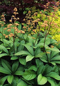 rodgersia pinnata 'superba.'  If you want a bold perennial to make an impact in your garden, then look no further than Rodgersia. These east Asian plants have lovely, large foliage and attractive plumes of white to red flowers. For the back of a moist border, a semi-shaded woodland or as a backdrop for a water feature, Rodgersia are second to none.