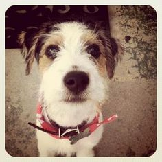 Parson Russell Terrier Dogs| Parson Russell Terrier Dog Breed Info & Pictures | petMD