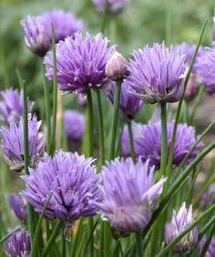 Allium Schoenoprasum Chives - 500 Seeds