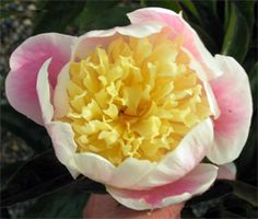Photo of peony  Butter Bowl