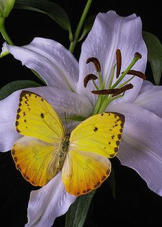 White Lily With Yellow Butterfly by Garry Gay