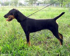 Jagdterrier / German Hunting Terrier