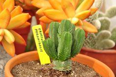 Nombre científico: Crassula pyramidalis Thunb. Sinónimo: Crassula archeri Compton - Crassula cylindrica Schönland - Crassula quadrangula (Eckl. & Zeyh.) Endl. Nombre comunes: Pagoda Mini Jade ...