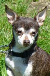 Brownie is an adoptable Chihuahua Dog in Lawrenceburg, IN. Cute little Brownie is 8 years old....