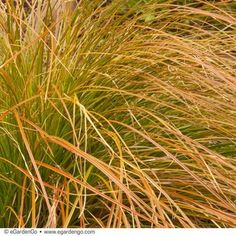Finely-textured, evergreen, orange ornamental grass, Carex testacea from 12 Top Picks for Adding Beauty to the Late Season Garden   eGardenGo Blog