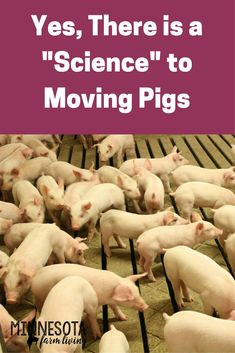 Pigs need to be move